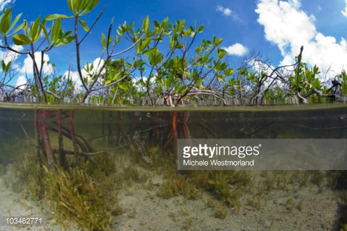 Foto 2 Michel Westmorland manglar