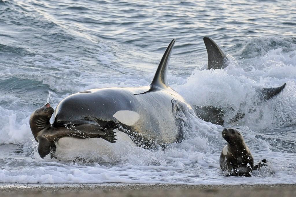 Foto 4 Orca_cazando