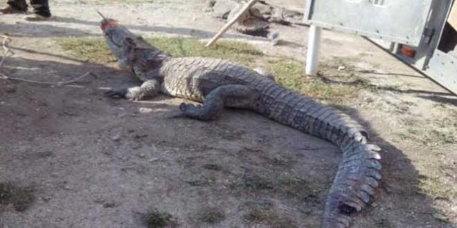 Profepa cocodrilo