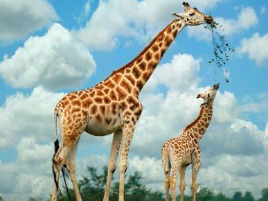 Cuánto-viven-las-jirafas2