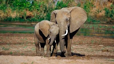 28-B-2-El-elefante-africano-tiene-grandes-orejar-que-le-cubren-los-hombros