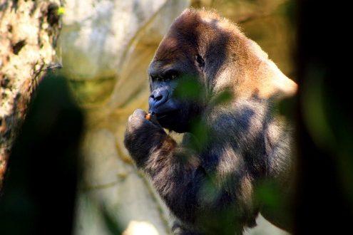 gorila Bantú
