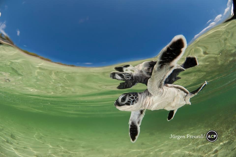 foto-2-tortuga-caribe