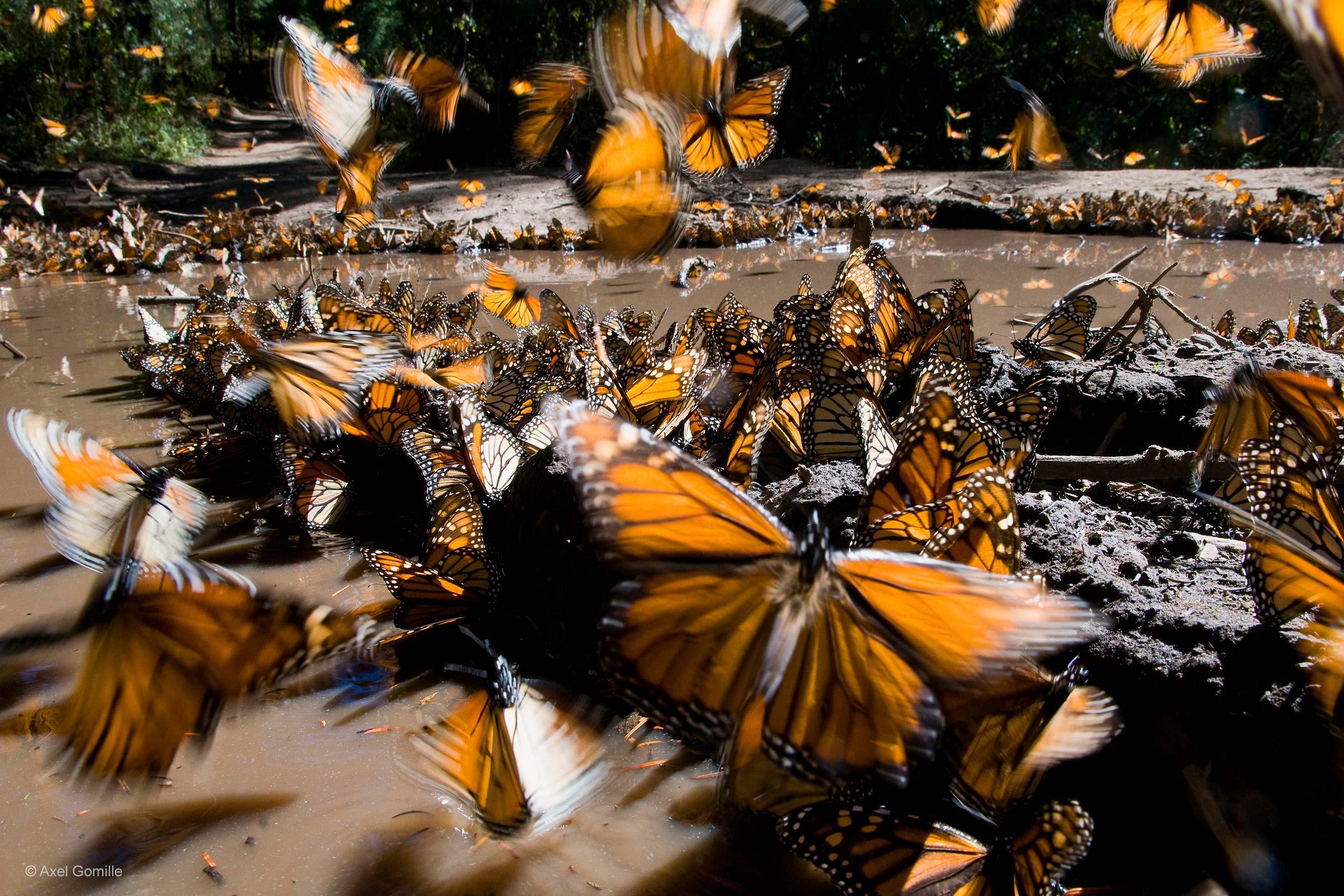 foto-4-monarchs-axel-gomille