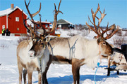 Preview reindeer preview