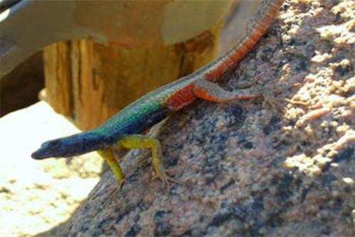 Augrabies Flat Lizard