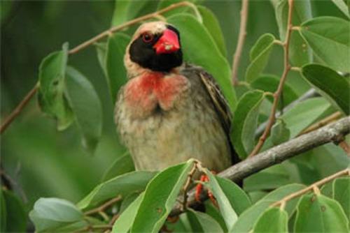 Red-billed Quelea