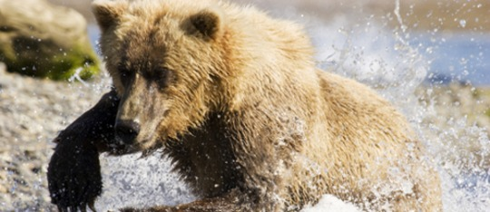 Feature life bear fea