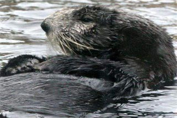 Sea otters get covered in sticky black oil
