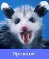 Opossums carry their young in pouches like kangaroos.