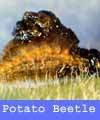 Potato Beetles contract their muscles to push poop onto their backs.