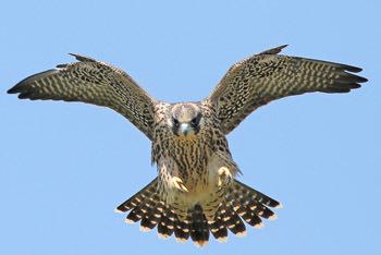 Fastest Falcon