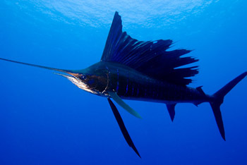 Sailfish over Phelps