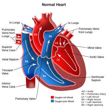 the human heart | basics | anatomy | picture | health, Muscles