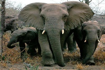 Elephants stick up for other animals!