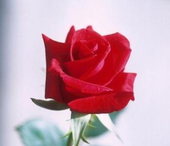 True Love Red Rose