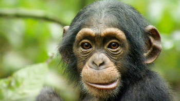 Chimpanzee follows the life of Oscar