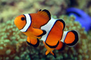 Facts About the Clown Fish