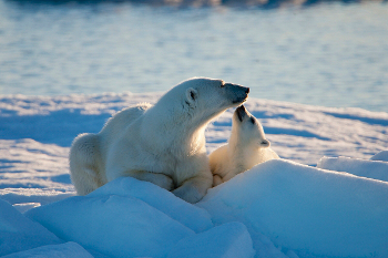 A polar bear mother and her cub