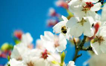 This bee on a cherry blossom is a sure sign of spring!