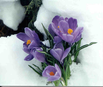 These crocuses are pushing through the winter snow