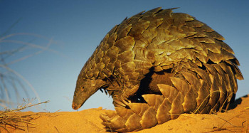 Pangolin (Scaly Anteaters) have scales like a pinecone