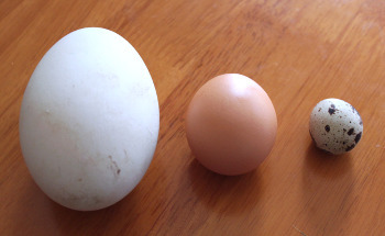 A goose egg, a chicken egg and a quail egg