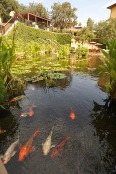 Koi fish greet guests