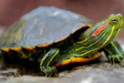 Preview red eared slider preview