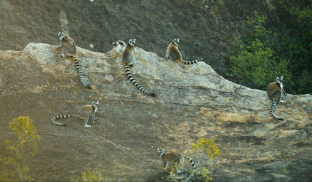 Ring-tailed lemurs in their high mountain habitat