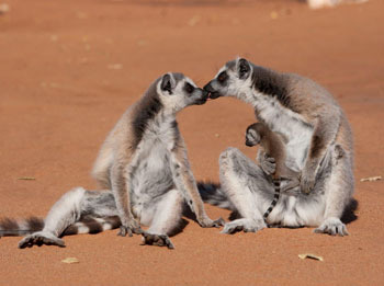 Lemur family with baby