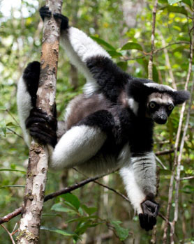 An Indri lemur, the largest living lemur