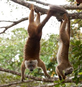 Hanging Lemurs