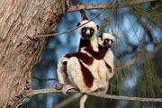 Preview lemurs pre