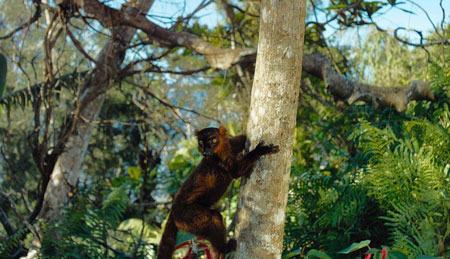Brown lemur climbs for better view