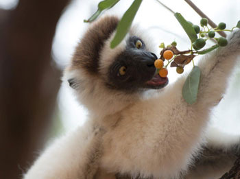 A Sifaka lemur excited about his snack