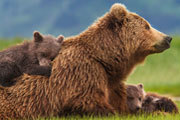 Disneynature Bears Blu-ray Review