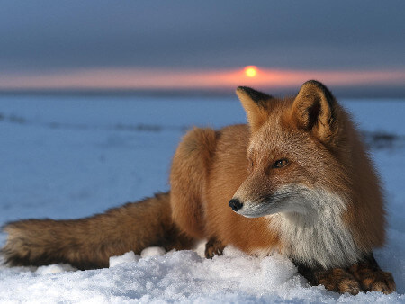 Foxes are found all across the Northern Hemisphere