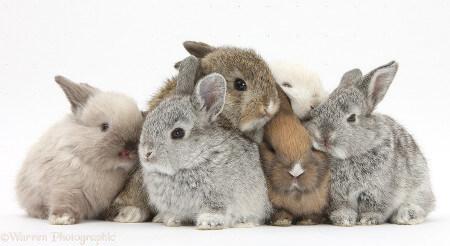 teacup rabbits