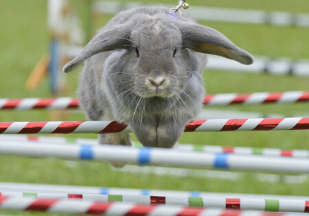 Rabbits are great jumpers!