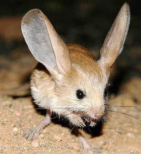 The jerboa is so cute!