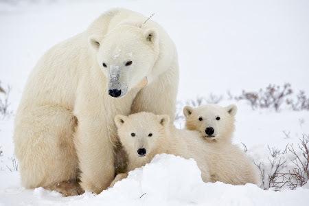 Polar bear cubs are often twins!