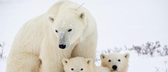 Polar Bear Fun Facts!