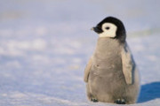 What's black, white and adorable all over? Penguins! Find out all about penguins!