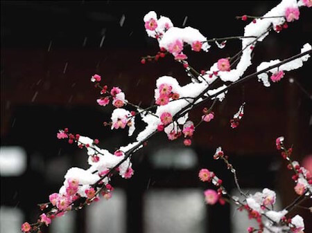 The Chinese plum blossom blooms beautifully in the winter time.