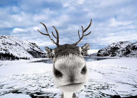 A reindeer's nose is specially made for cold weather!