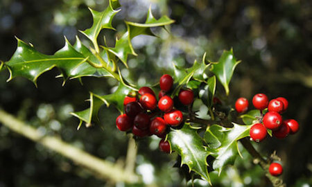 Holly berries are beautiful, but don't eat them! They can be poisonous.