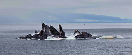 Humpback whales bubble-netting for food
