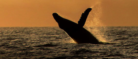 Humpback Whales' Cool Young Producer