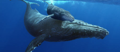 Humpback whale mom and calf